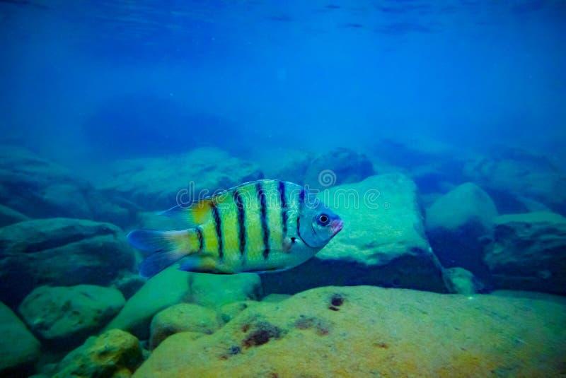 Плавание рыб кораллового рифа тропическое над утесами стоковое изображение