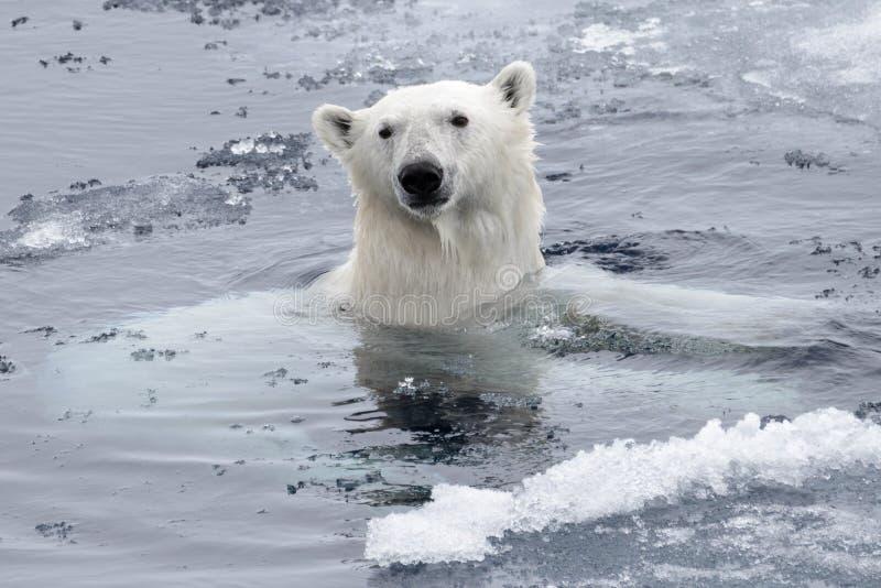 Плавание maritimus Ursus полярного медведя в ледовитом море стоковые изображения rf