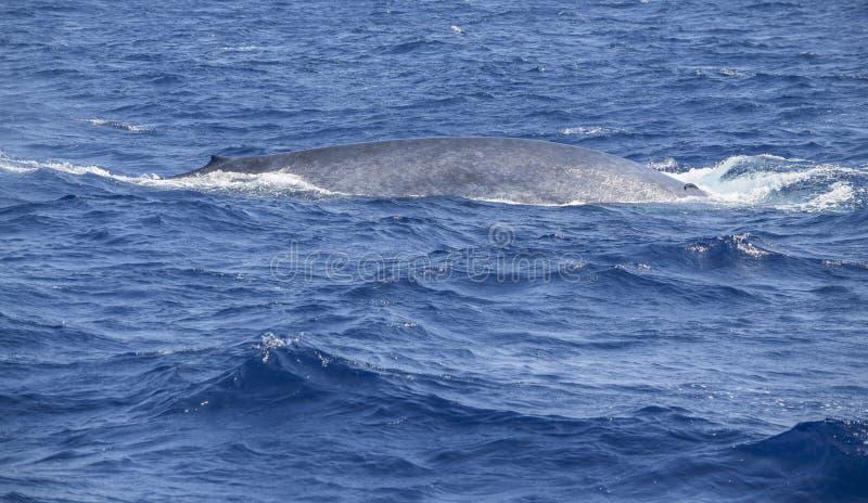 Плавая кит стоковые фото