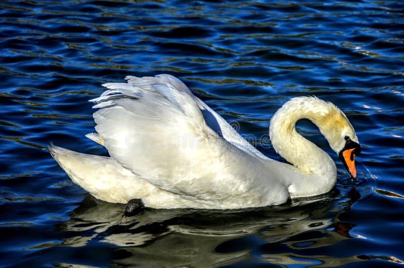 плавая лебедь стоковая фотография rf