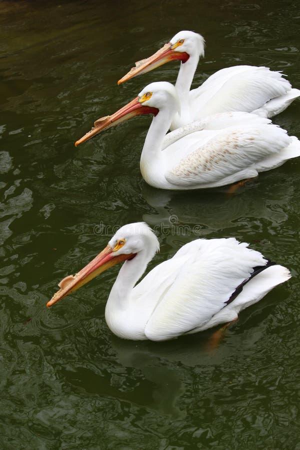 3 плавая пеликана стоковые фото