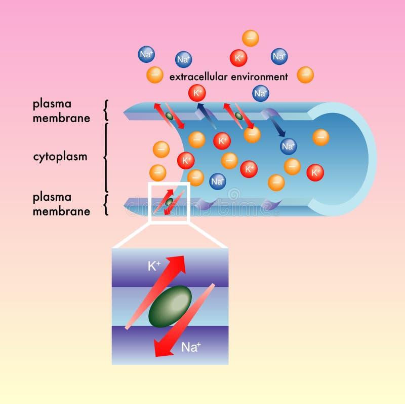 плазма мембраны иллюстрация вектора