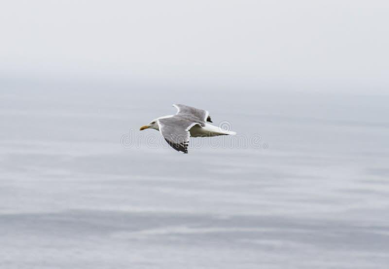 Планирование чайки над морем стоковое изображение