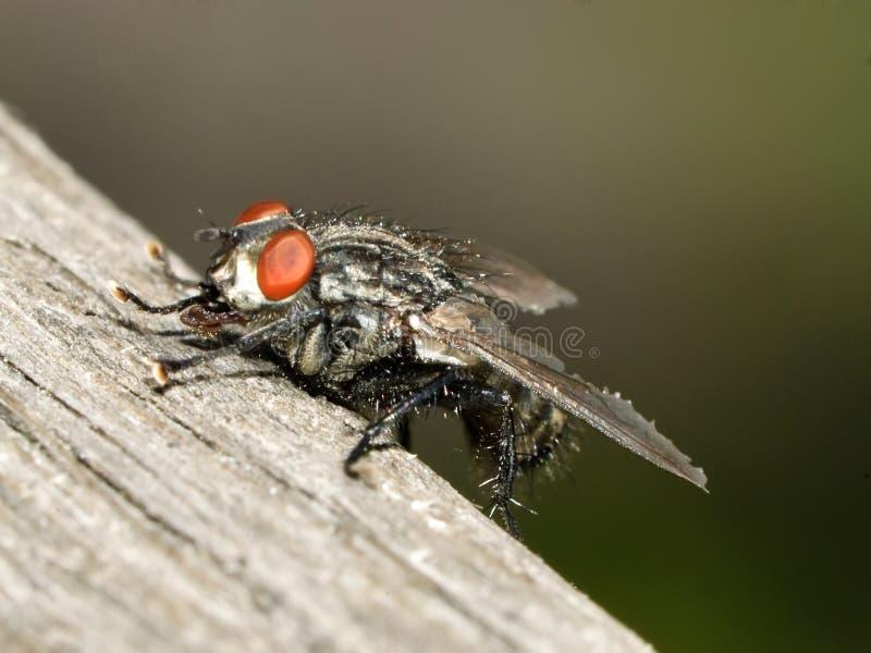планка мухы плоти деревянная стоковая фотография rf