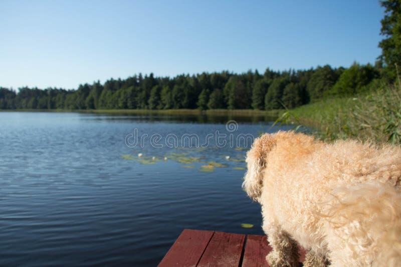 Планки Брайна деревянные с begie выслеживают меховое против голубого неба и воды и зеленых леса и тростников стоковое фото