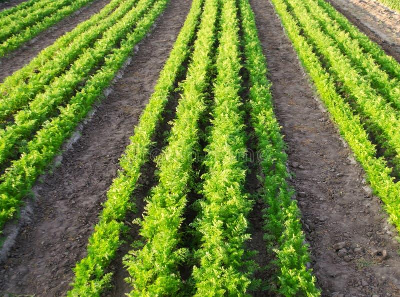 Плантации моркови растутся в поле Строки овоща Органические овощи Земледелие ландшафта Обрабатывать землю ферма E стоковые фото