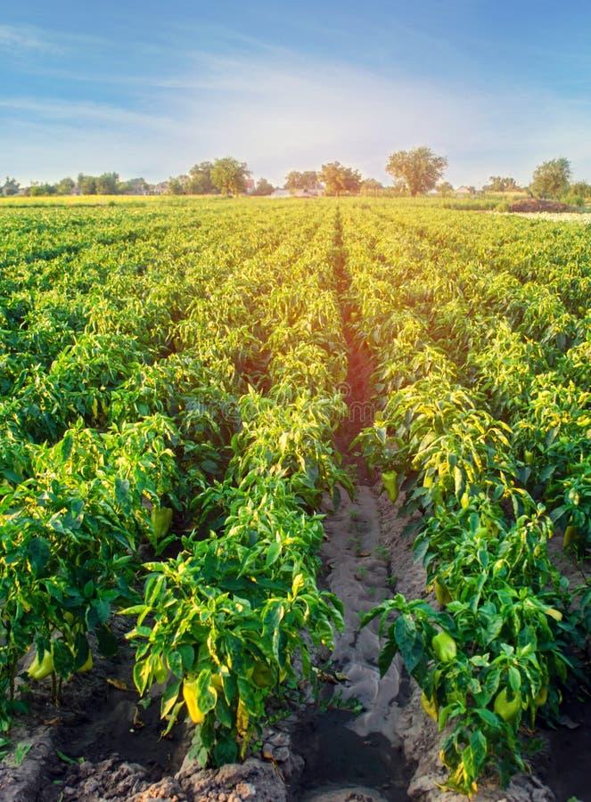 Плантации перца растут в поле строки овоща обрабатывать землю, земледелие Ландшафт с аграрным краем урожаи стоковая фотография rf
