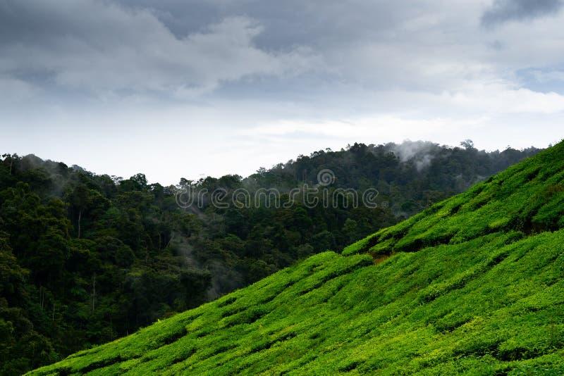 Плантации чая в гористых местностях Камерона, Малайзии стоковое изображение rf