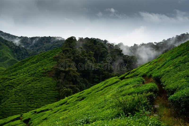 Плантации чая в гористых местностях Камерона, Малайзии стоковая фотография