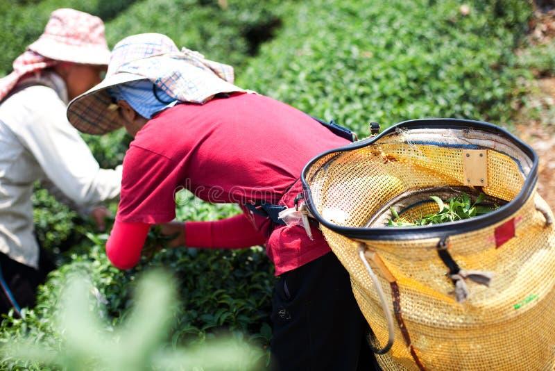 Плантации чая в долине Mae Salong Северный Таиланд стоковая фотография rf