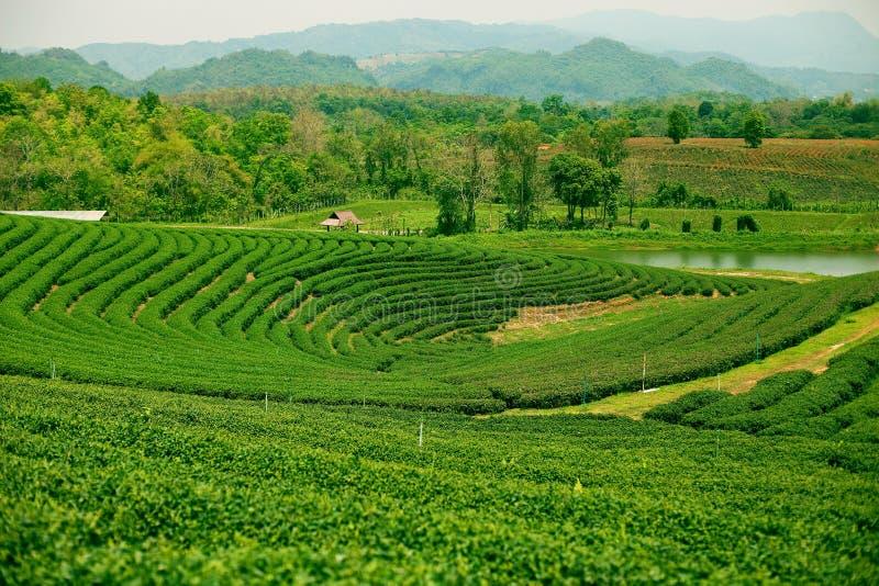 Плантации чая в долине Mae Salong Северный Таиланд стоковая фотография