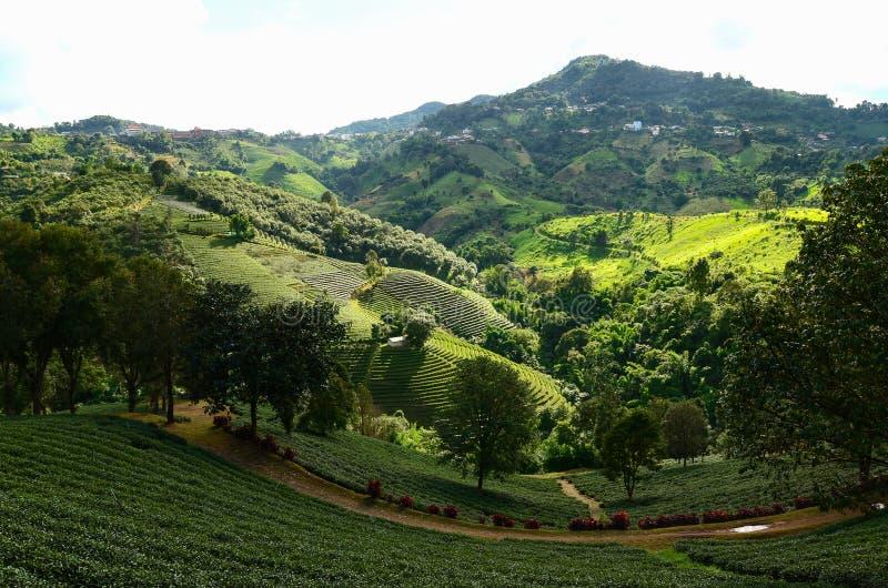 Плантации чая в Doi Mae Salong стоковые фото