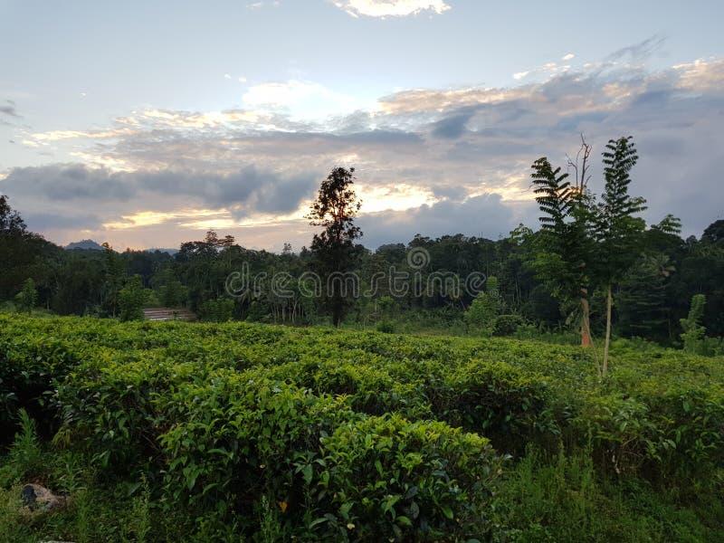 Плантации чая на заходе солнца стоковое фото rf