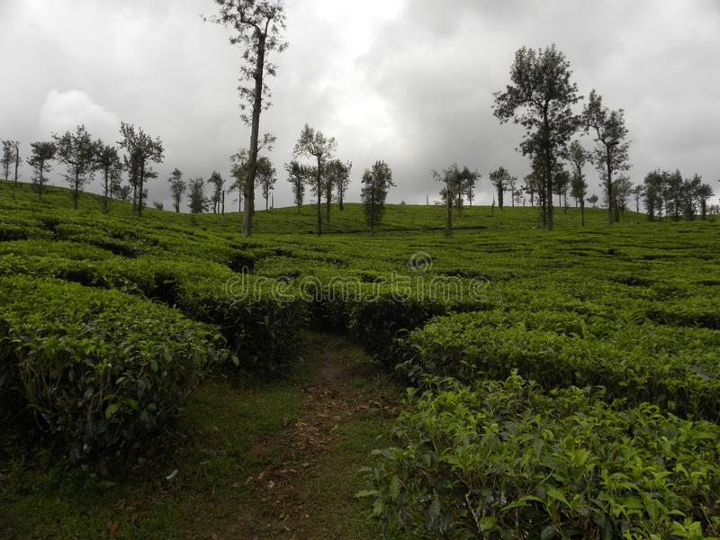 Плантации чая на Wayanad с заводами зеленого чая и ненастными облаками стоковые фото