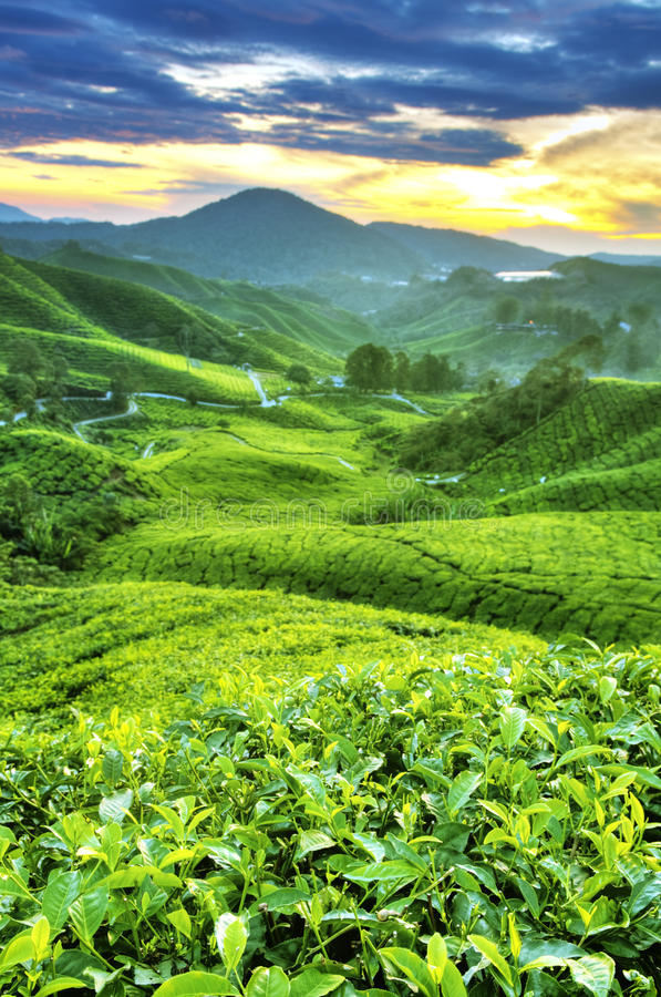 Плантации чая стоковое изображение rf