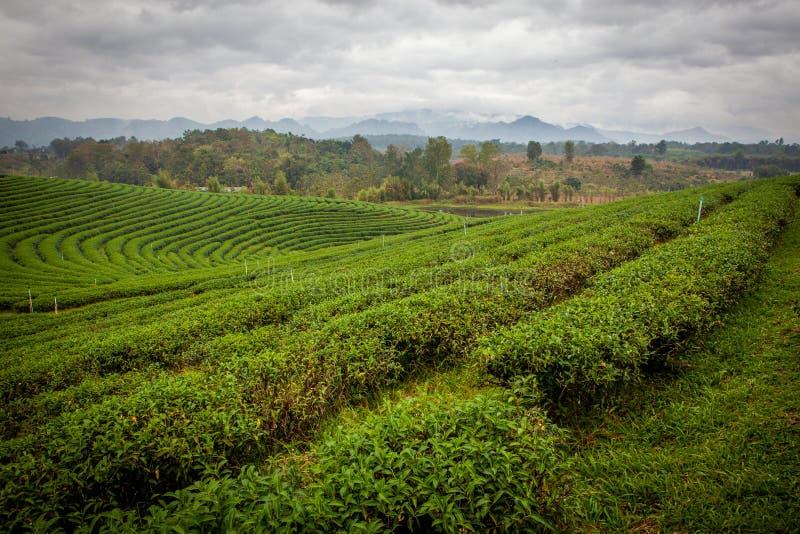 Плантации чая Choui Fong в Chiang Rai стоковое изображение rf