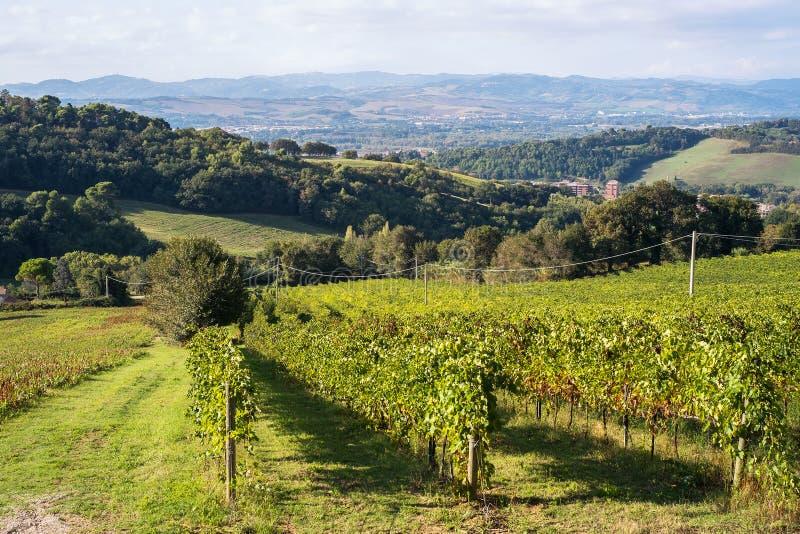 Плантация виноградины около города Pesaro, Италии стоковая фотография