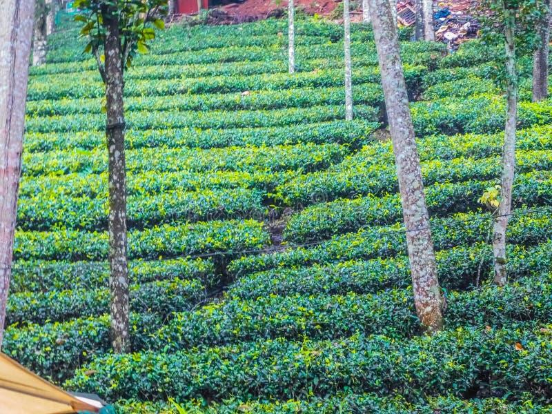 Плантация дерева на Cochin стоковое фото rf