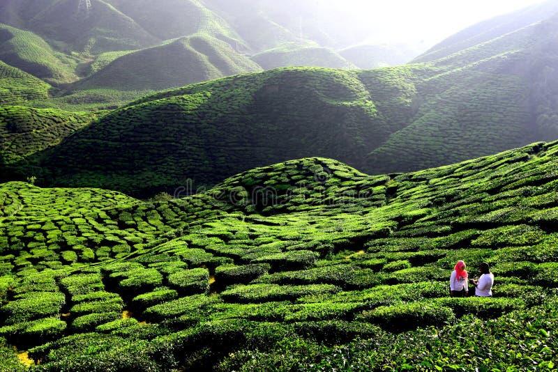 Плантация зеленого чая в гористой местности Камерона стоковые изображения rf