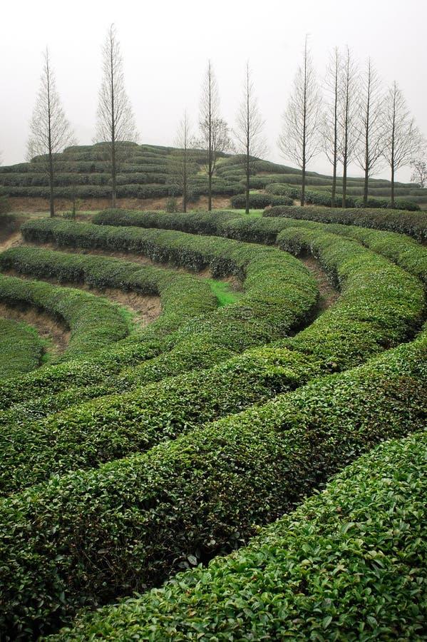 Плантация зеленого чая стоковые фотографии rf