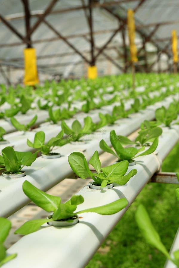плантация земледелия hydroponic стоковое фото