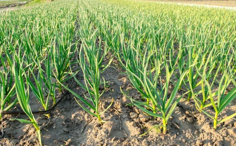 Плантация лука вырасти в поле на солнечный день Обрабатывать землю фермы земледелия Лук-порей r стоковое изображение rf