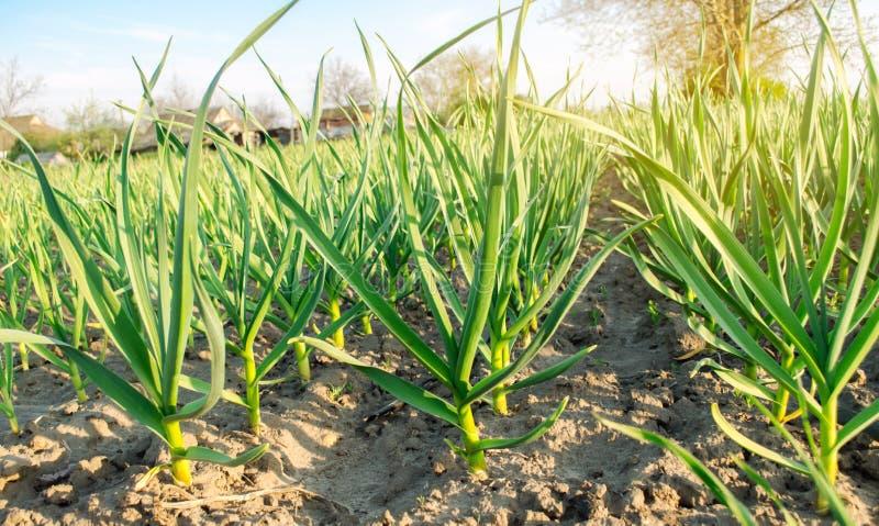 Плантация лука вырасти в поле на солнечный день Обрабатывать землю фермы земледелия Лук-порей r стоковое фото rf