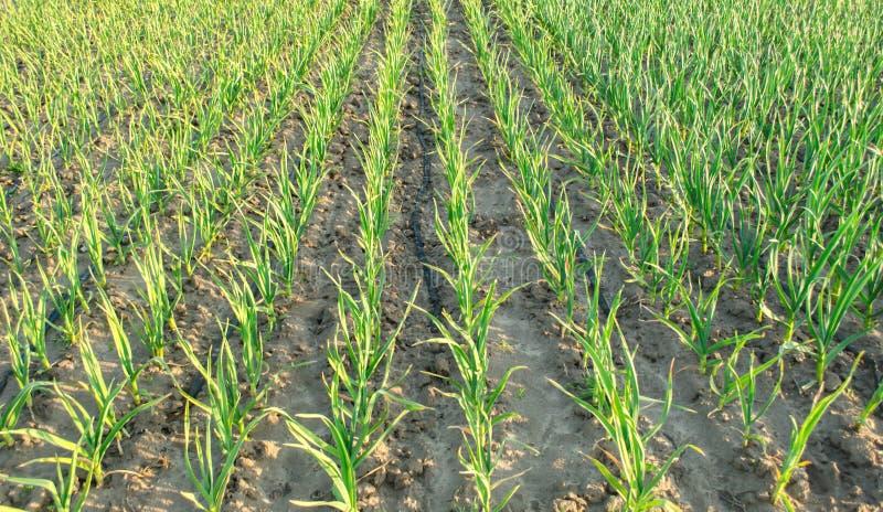 Плантация лука вырасти в поле на солнечный день Обрабатывать землю фермы земледелия Лук-порей r стоковые фотографии rf
