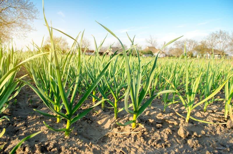 Плантация лука вырасти в поле на солнечный день Обрабатывать землю фермы земледелия Лук-порей r стоковые изображения