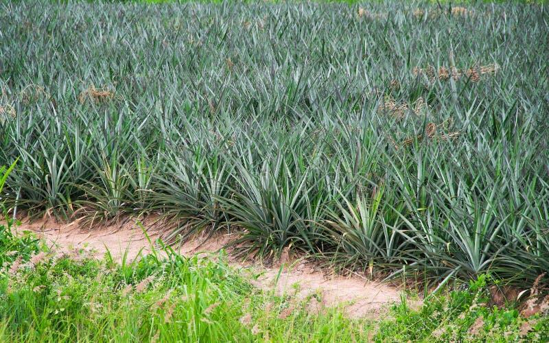 Плантация плода ананаса, на открытом воздухе тропическая предпосылка природы стоковое изображение