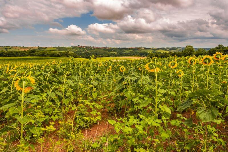 Плантация солнцецветов Атлантические Пиренеи Франция стоковая фотография