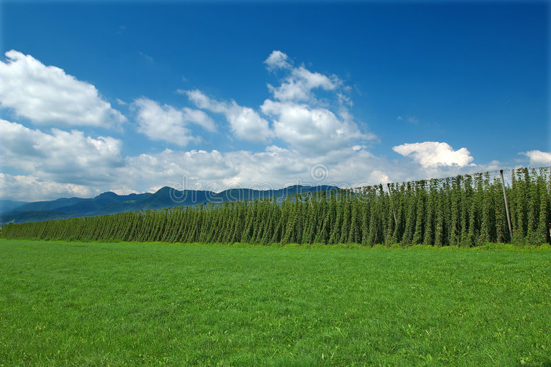 плантация хмеля стоковые фото