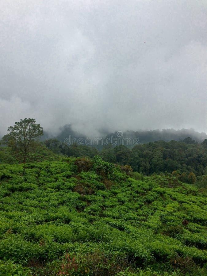 Плантация чая в Бандунге, Индонезии стоковое изображение