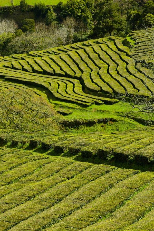 Плантация чая, интересная волнистая картина линий зеленых растений стоковая фотография rf