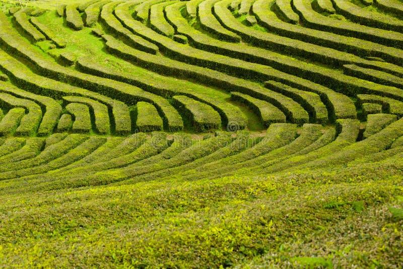 Плантация чая, интересная волнистая картина линий зеленых растений стоковые фотографии rf