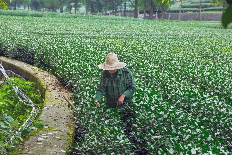 Плантация чая и работа старухи на саде стоковые изображения rf