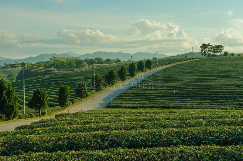 Плантация чая кафе на открытом воздухе стоковое фото rf