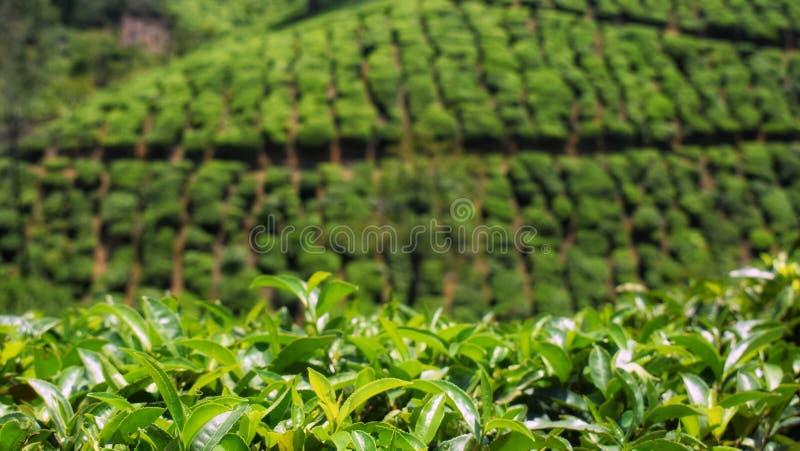 Плантация чая на Thekkady в Керале стоковые фотографии rf