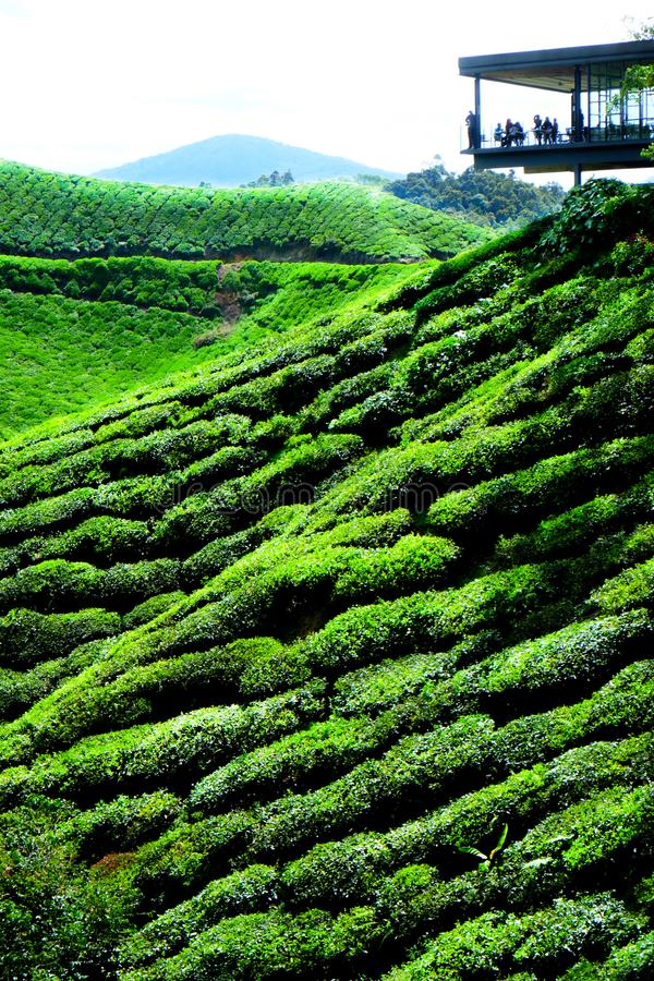 Плантация чая с платформой просмотра стоковая фотография