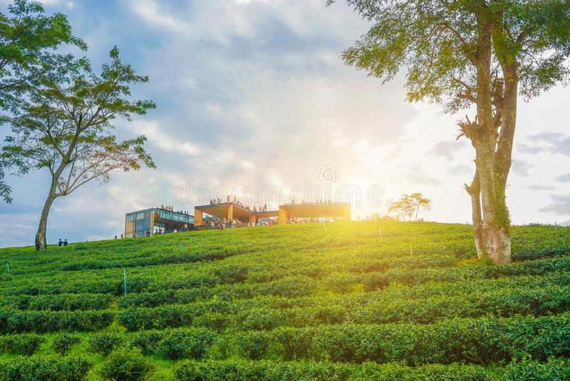 Плантация чая Choui Fong, Chiang Rai, Таиланд стоковые изображения rf