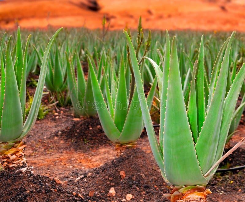 плантация vera алоэ стоковая фотография rf