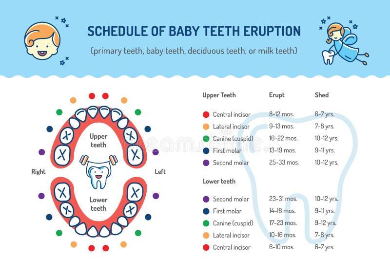 План-график извержения зубов младенца Основные зубы, лиственные зубы Забота infographics зубоврачевания детей зубоврачебная бесплатная иллюстрация