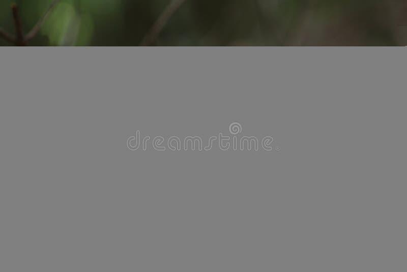 Пластинчатые грибы меда ядовитых грибов ложные стоковое изображение