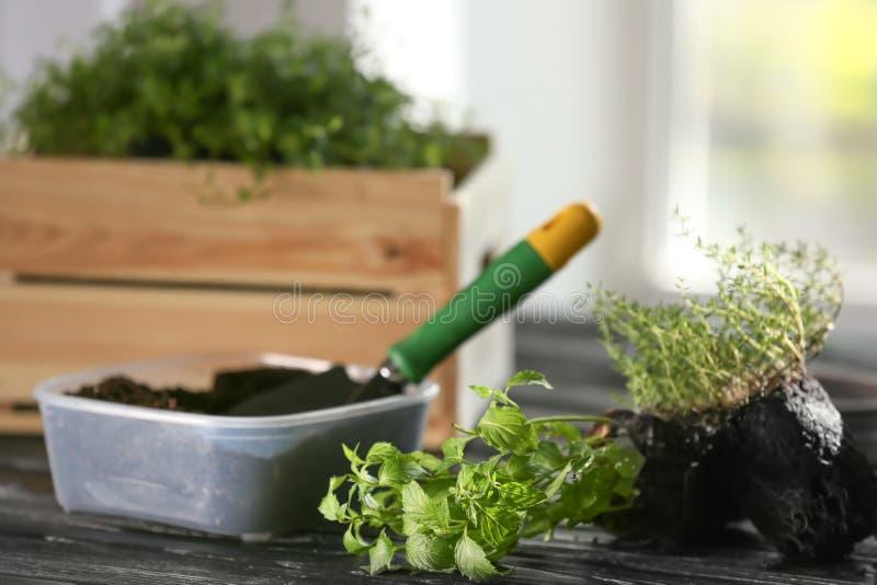 Пластмасовый контейнер с почвой и свежие травы на деревянном столе стоковое изображение rf