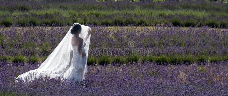 Платье и вуаль романтичной невесты нося белое улавливают свет стоя среди строк лаванды на лаванде Snowshill, Великобритании стоковое изображение rf