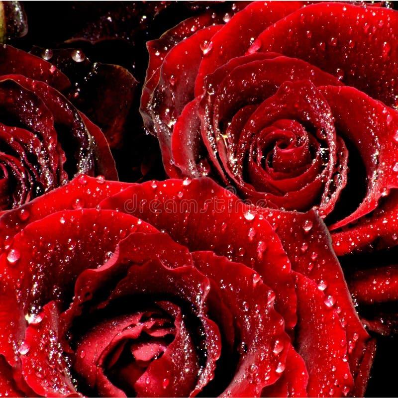 плача розы стоковые изображения rf