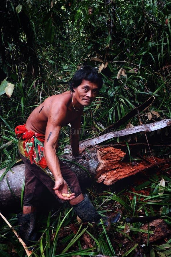 Племенной член Аман собирая харчи от упаденного дерева саго в midd стоковое фото rf