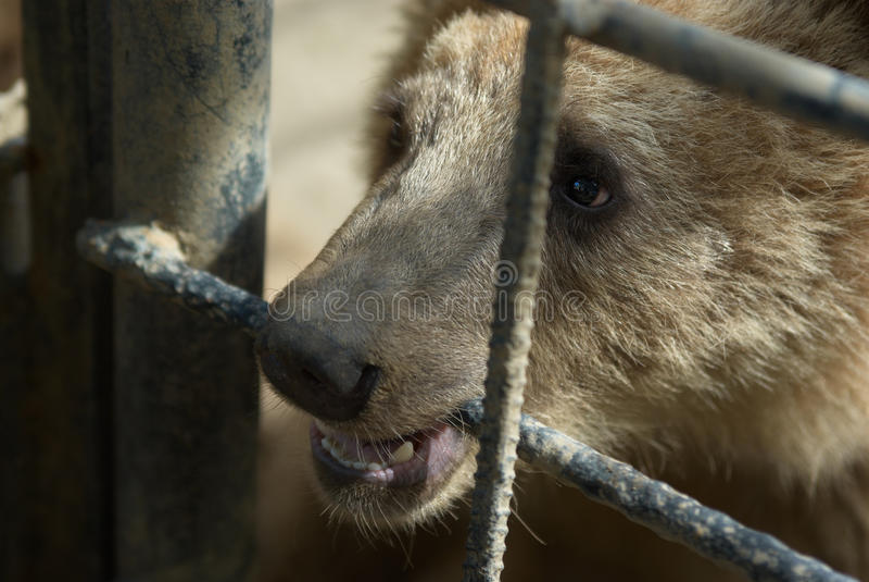 плен медведя коричневый стоковые фото