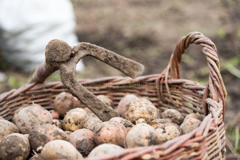 Плетеная корзина заполнена с свеже выкопанными картошками, концом вверх На корзине сапка - ручные резцы для выкапывать картошки h стоковое фото