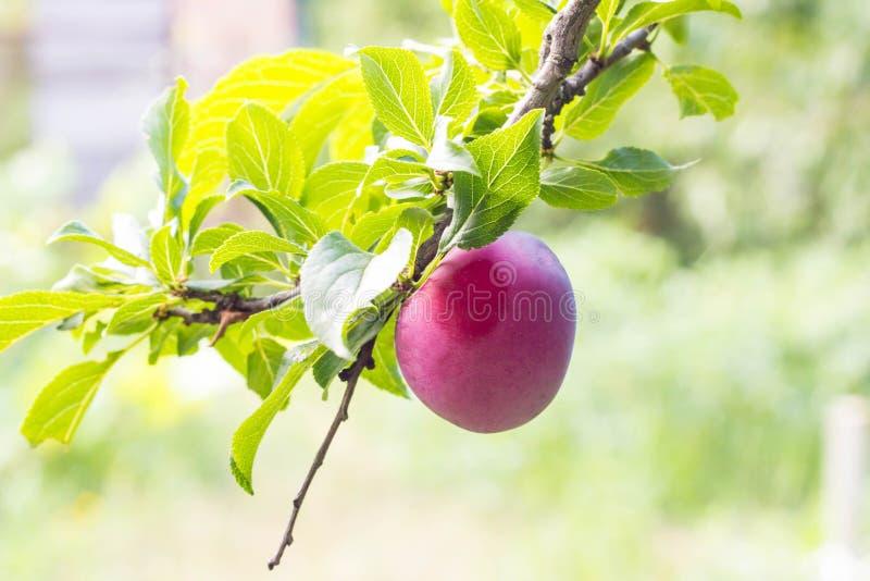 Плодоовощи зрелой фиолетовой сливы на ветви дерева в конце-вверх сада стоковые фото
